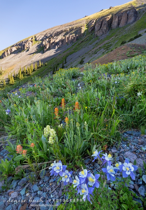 Columbine blooms on a rocky slope in the San Juan Mountains near Telluride, Colorado.