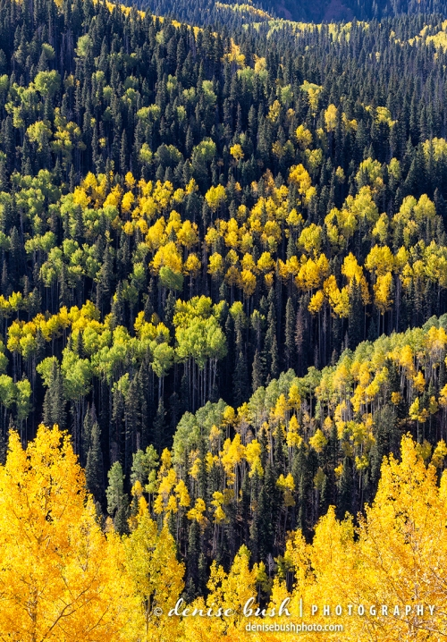 Aspens arrange themselves in a natural and beautiful display on the side of a mountain in Colorado.