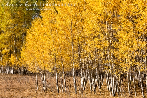A group of young and healthy aspens glow in the warmth of the morning sun