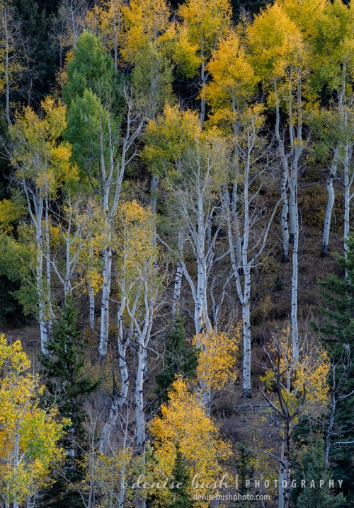 Looking down upon some aspens provides a different pespective for tree lovers!
