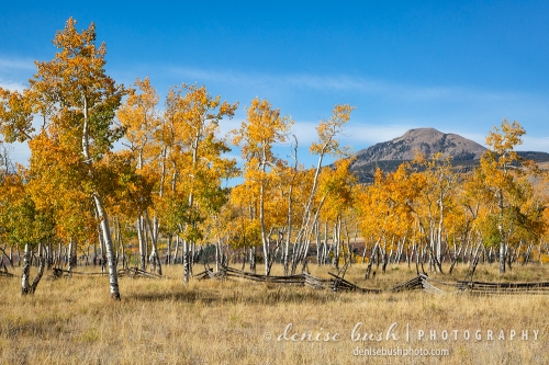 A group of aspens near Telluride turn this way and that, display their brilliant autumn foliage.