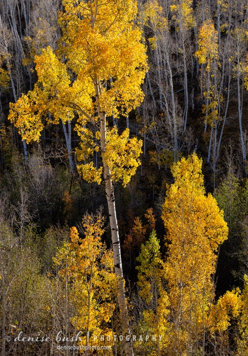 Aspen foliage lights up with the suns backlight for a striking look at nature.