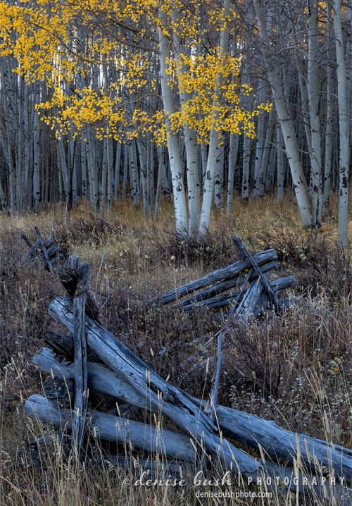 An old fence and aspen foliage attract the photographer's eye in this autumn scene.