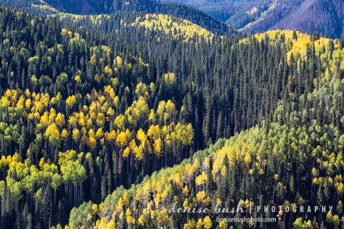 Aspens make a beautiful arrangement by highlighting the curves of the mountain slope.