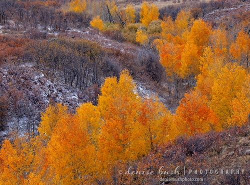 Vibrant orange aspens look striking agains a light coating of snow … giving notice of winter to come.