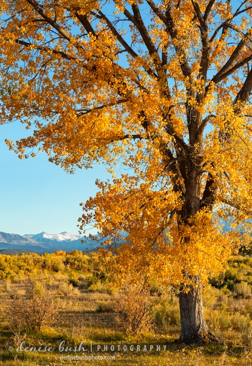 A beautiful cottonwood tree enjoys a distant mountain view.