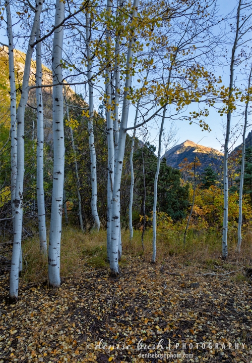 A unique view of Mt. Abram in Ouray, Colorado, as seen through the autumn forest.