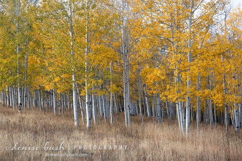 A young and healthy aspen grove shows off fall color in all its glory!