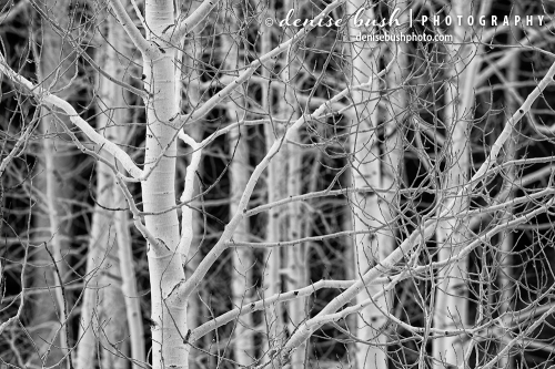 Some white aspen trees make a strong black and white close-up!