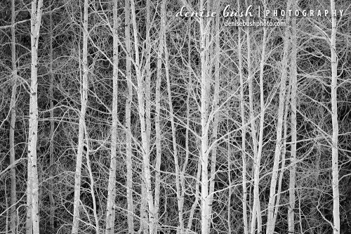 Some extra white aspens create a high contrast nature pattern in black and white.