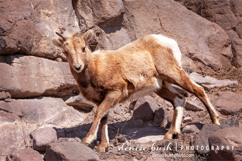 A young big horn sheep is at home on the rocks near Gunnison, Colorado in March.