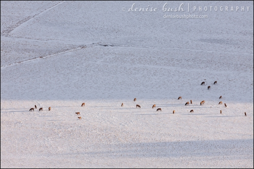 Long Shadows develop at the end of the day shining a spotlight on an elk herd below.