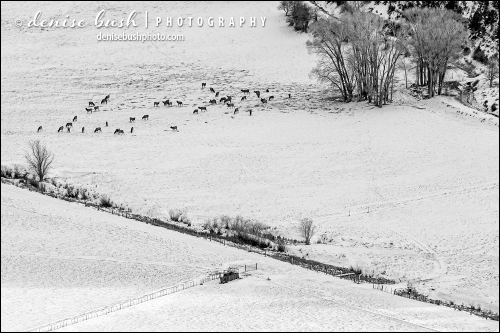 A herd of elk graze in the snow covered valley below.