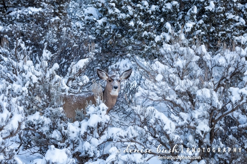 A mule deer doe Is coated in snow, blending in with the brush.