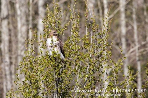 A red-tailed hawk perches in a spring tree against an aspen forest background.