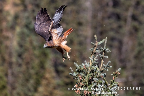 A red-tailed hawk is captured at take-off with spruce needles and feathers flying!