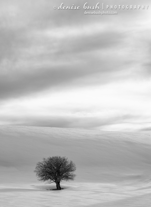 A lonesome little tree stands out with its dark color against a snowcovered hill.
