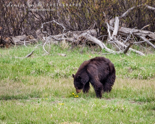 A bear wakes up from a long winter's nap to find some dandelions as a tasty little snack.