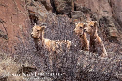 Three young bighorn sheep observe with caution.