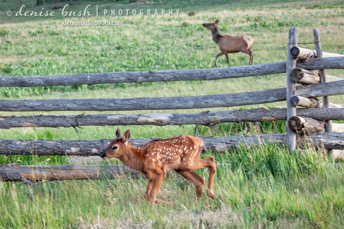 Today is the day an elk calf learns to jump fences as mama coaxes.