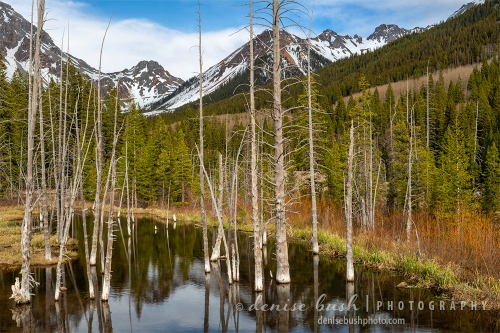Dead cedar trees create a foreground for this Colorado Mountain scene.