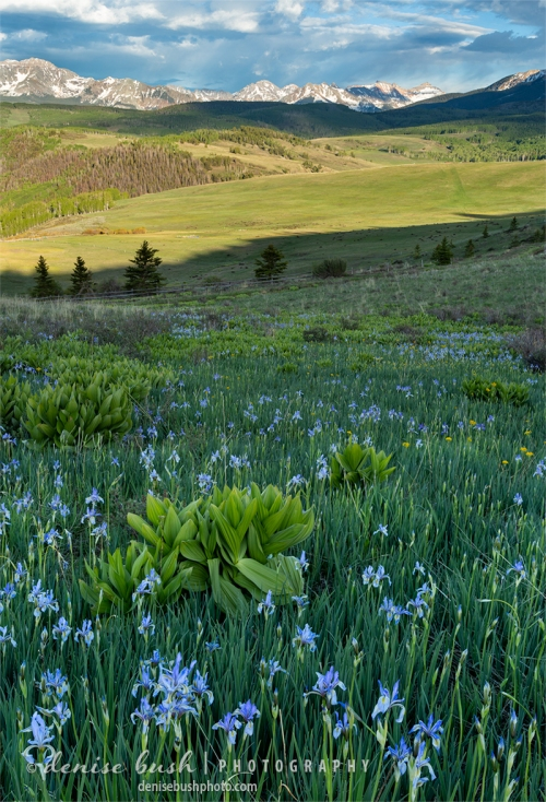 Irises grow wild in springtime, in the mountains of Colorado.