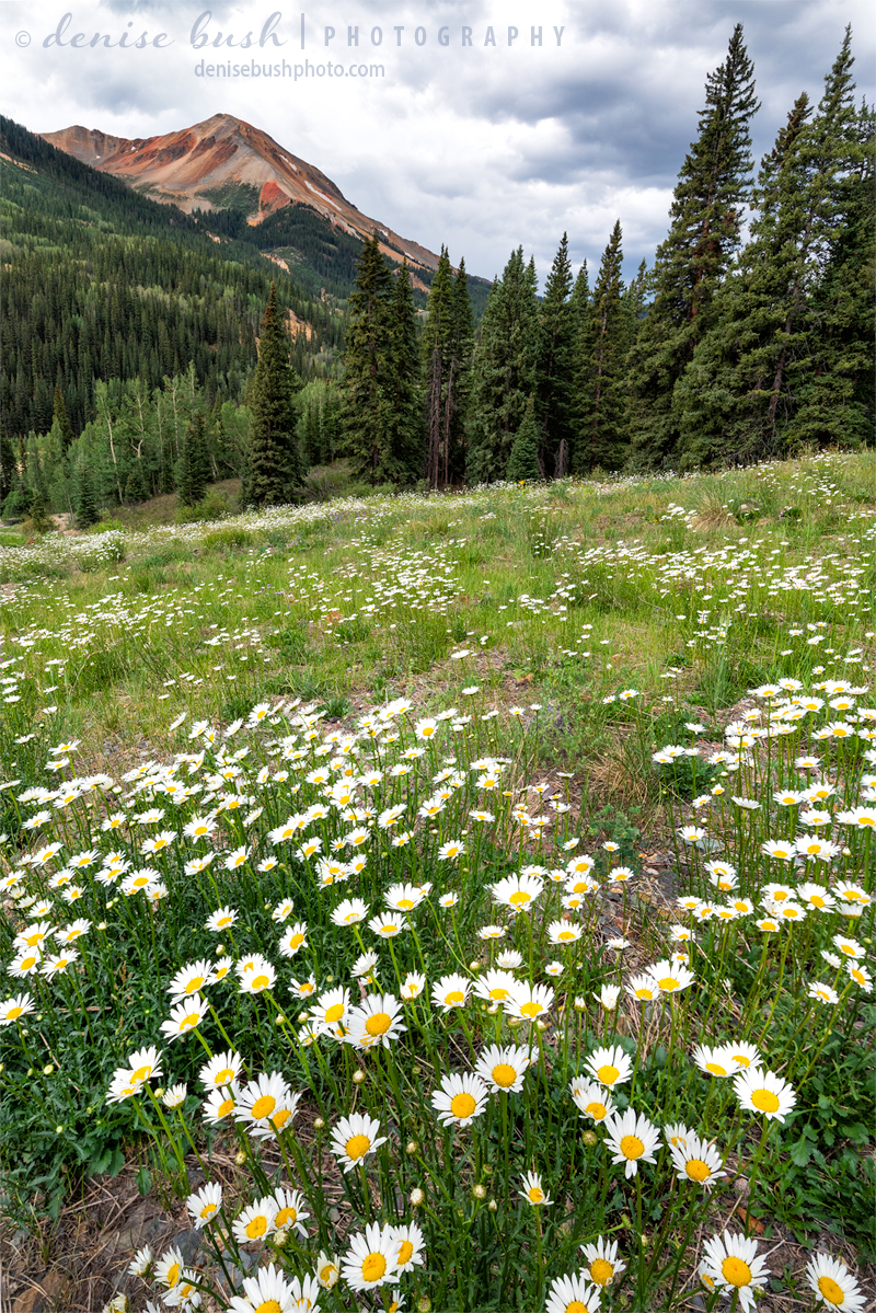 A daisy field below Red Mountain is a happy summer sight.
