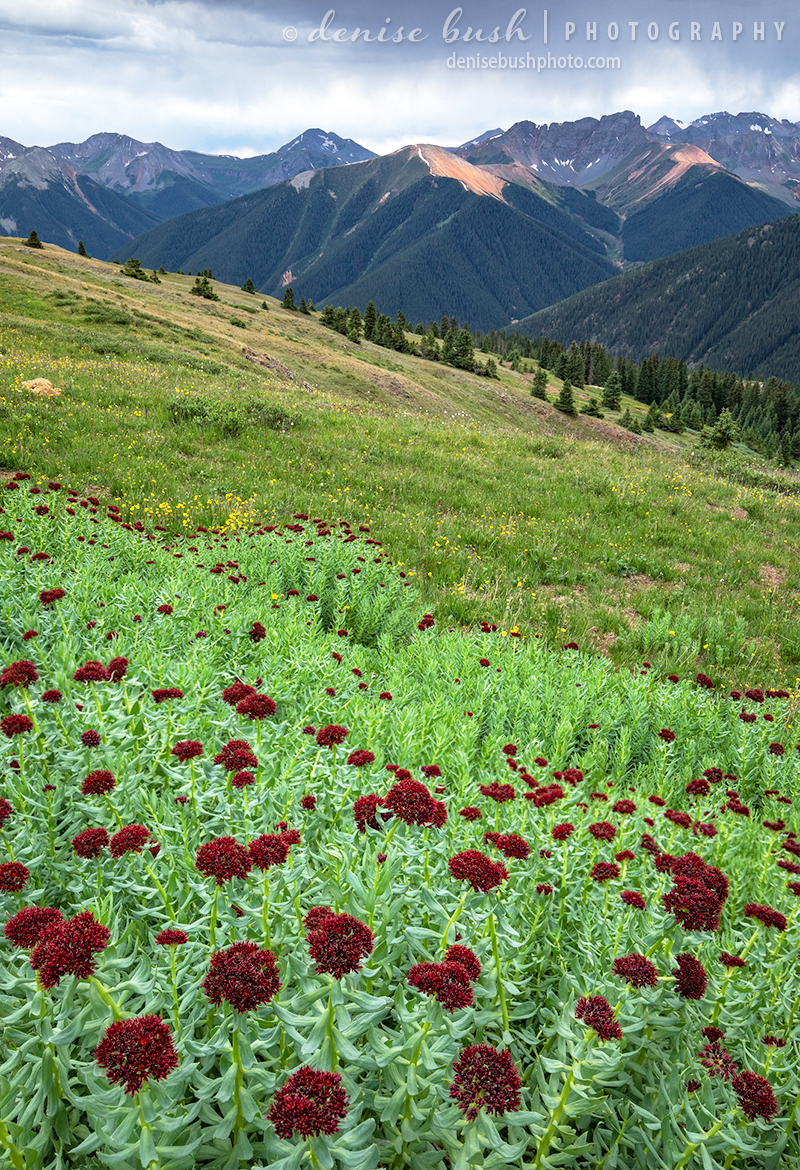 A beautiful cluster King's Crown grows among other wildflowers in a high, alpine meadow near Silverton, Colorado.