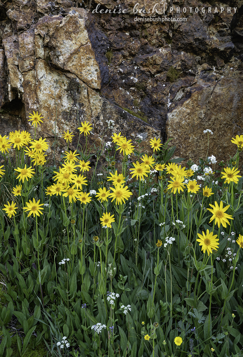 Sunny yellow flowers pose before a rock wall in the mountains.