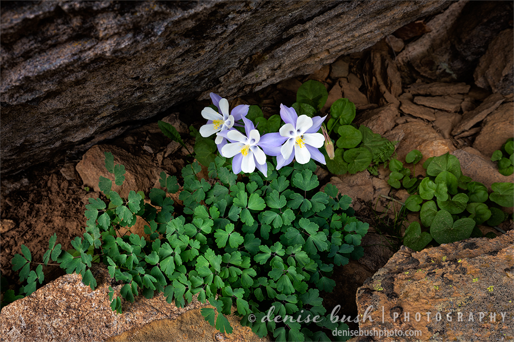 Columbine, Colorado's state flower, are tucked away and framed by the surrounding rocks.