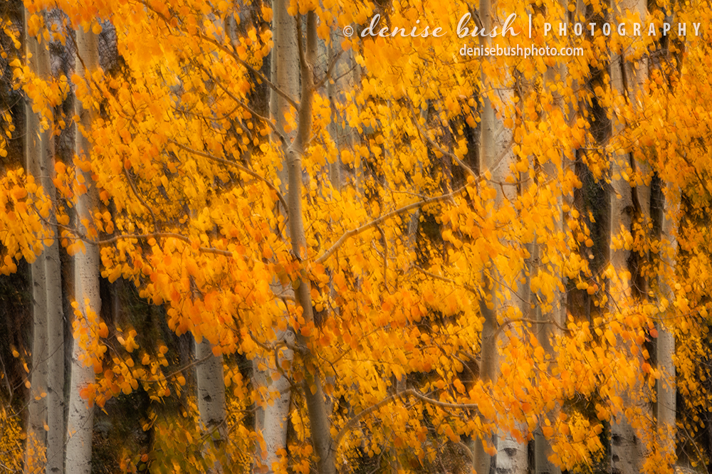 A puropseful blur reduces the aspen subject to an autumn abstarct of color and shape.