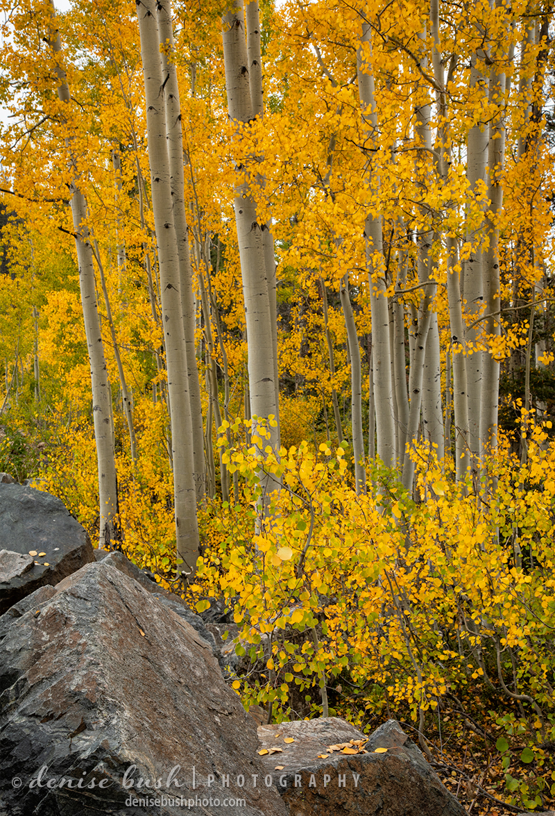 A pretty aspen group shows off autumn color among the rocks.