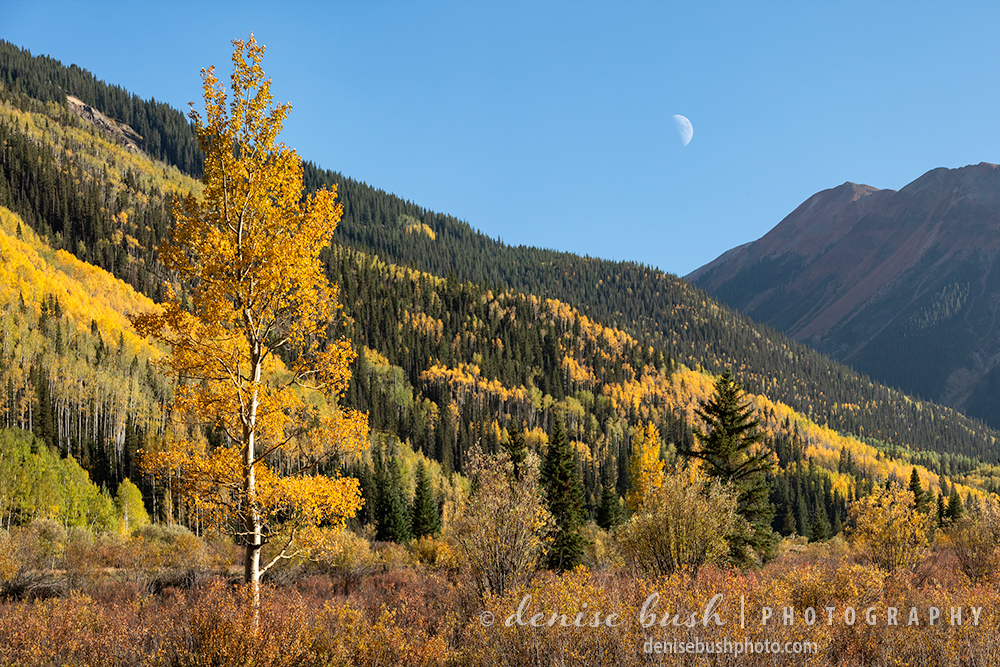 A single aspen tree brightens the foreground of this autumn scene near Red Mountain Pass, Ouray, Colorado.