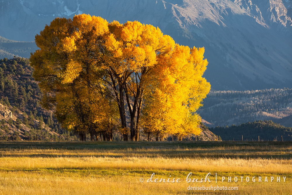 A favorite grouping of majestic cottonwood trees has been photographed many times by this photographer!