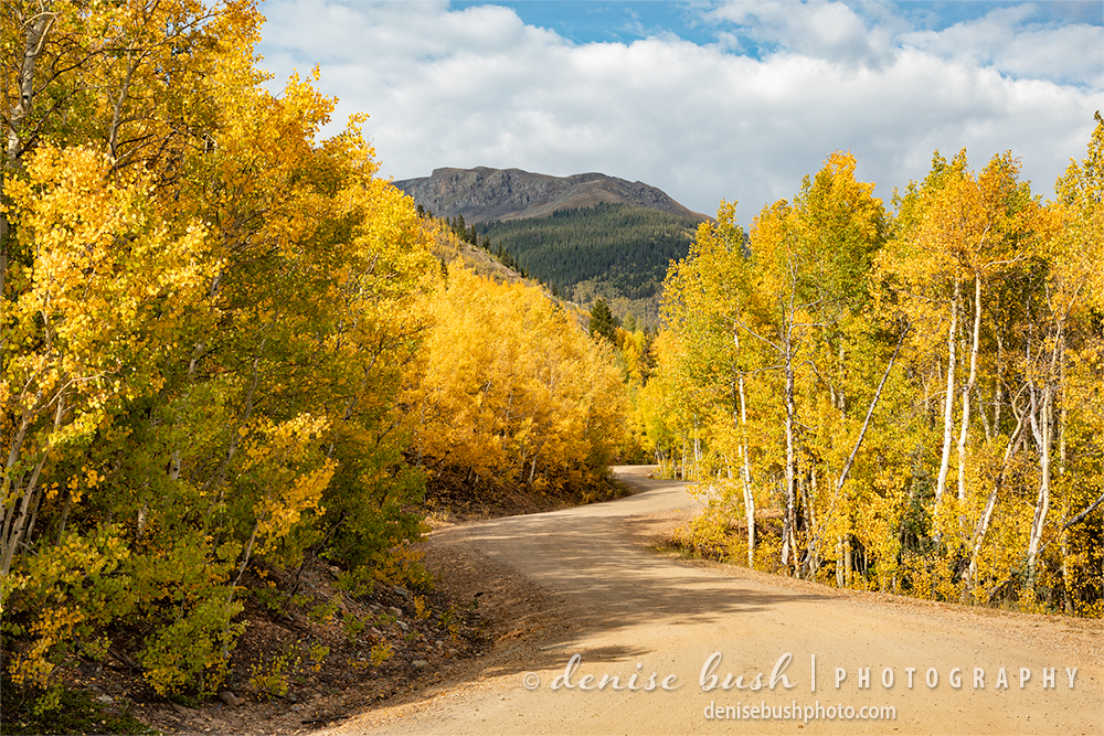 A winding dirt road makes an inviting scene among the vibrant aspen trees.