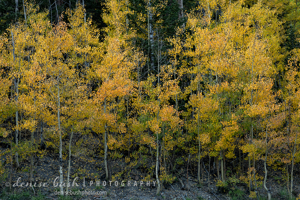 Aspen trees have small round leaves which can remind one of Pointellism art.