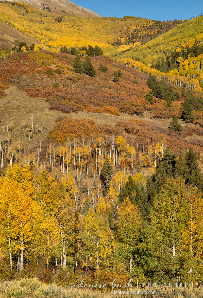 Aspen Trees, Gambel Oaks and Spruce Trees create an ensemble that resembles a tapestry.