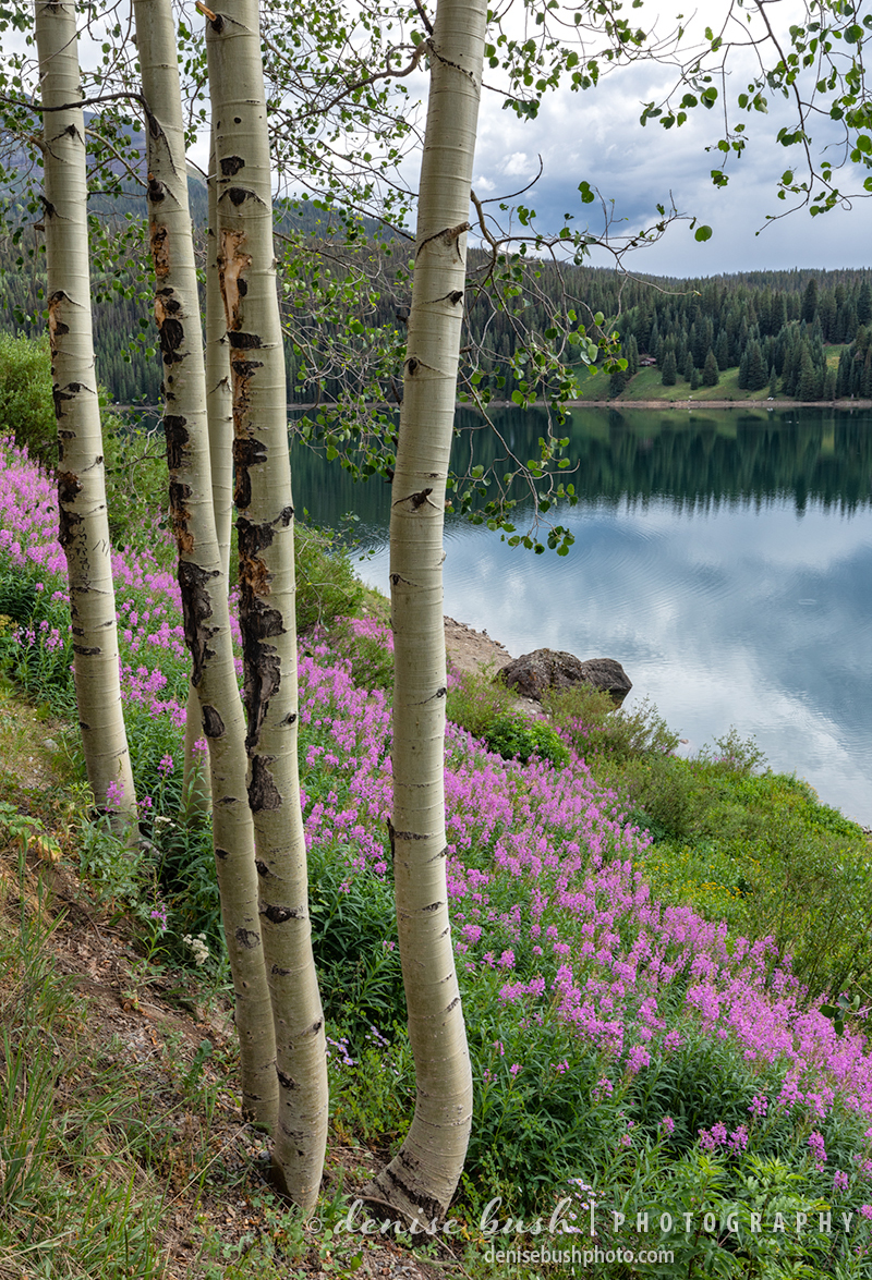 Fireweed grows beautifully on the steep slopes of a mountain lake in Colorado.