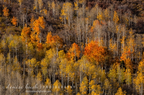 A long lens picks up the beautiful warm light on a distant slope of aspens in deep orange and gold.