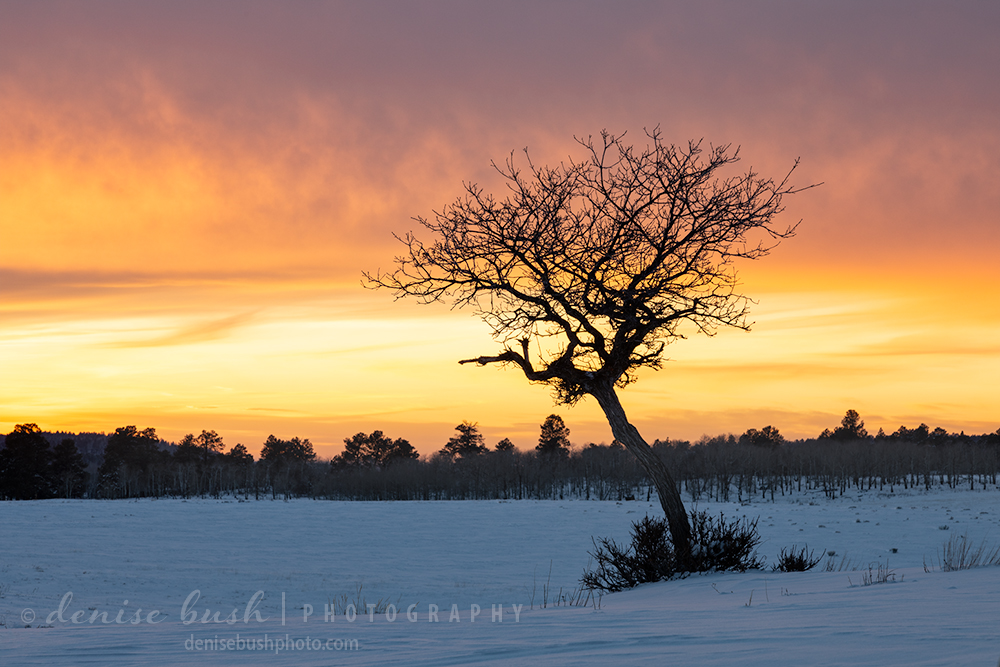 A small gambel oak creates a silhouette to contrast with the sunset sky.