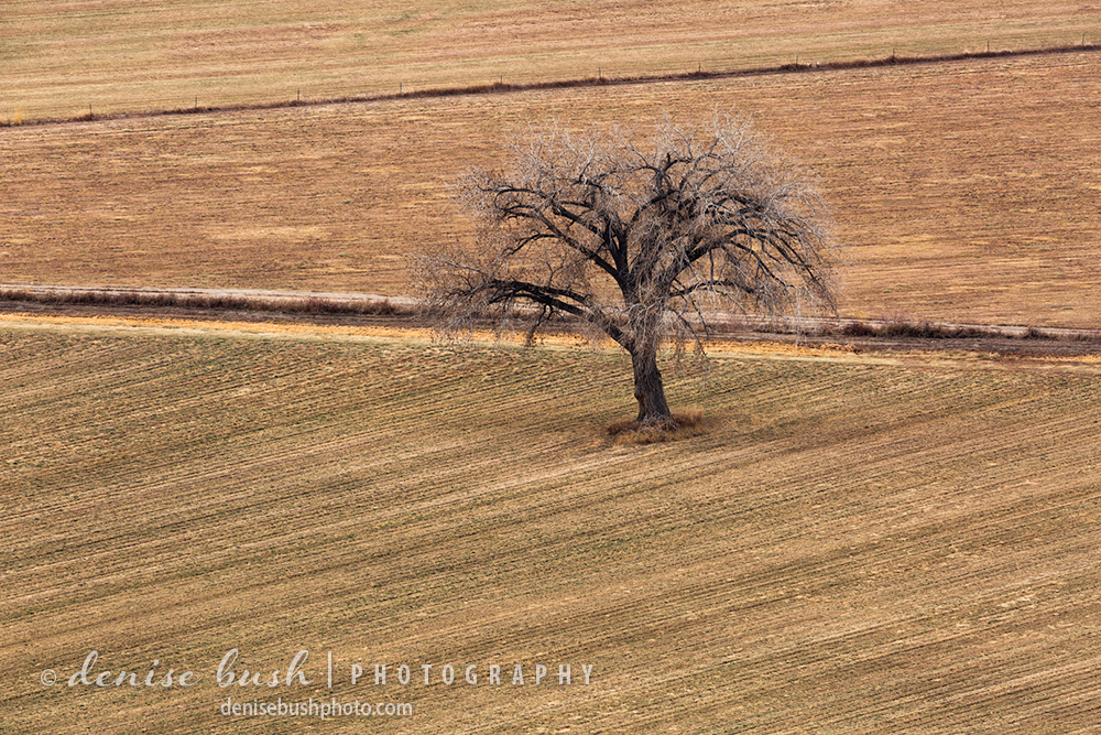 A big beautiful cottonwood tree stands out, all alone in a winter field.