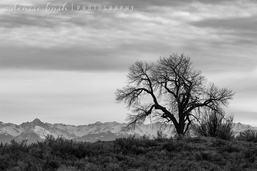 A cottonwood silhouette up on a ridge has a good view of the distant San Juan Mountains of Colorado.