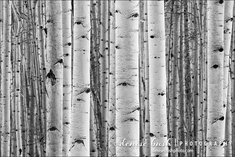 Everyone loves the aspens for their beautiful bark among other qualities.