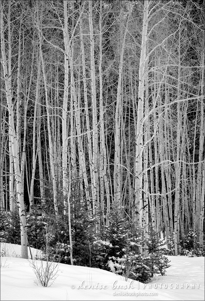 The bare branches of winter allows a beautiful group of healthy, young aspens a chance to show off their design and structure.