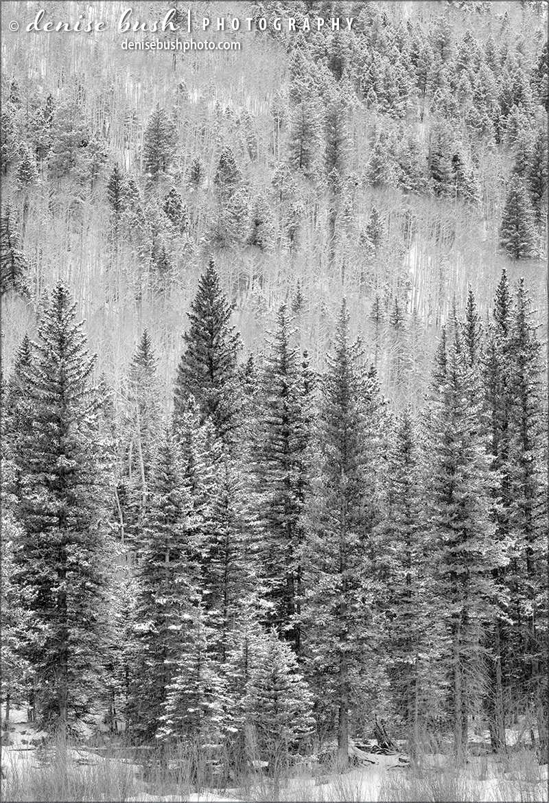 The fresh fallen snow clings to branches and needles of a beautiful stand of spruce trees.