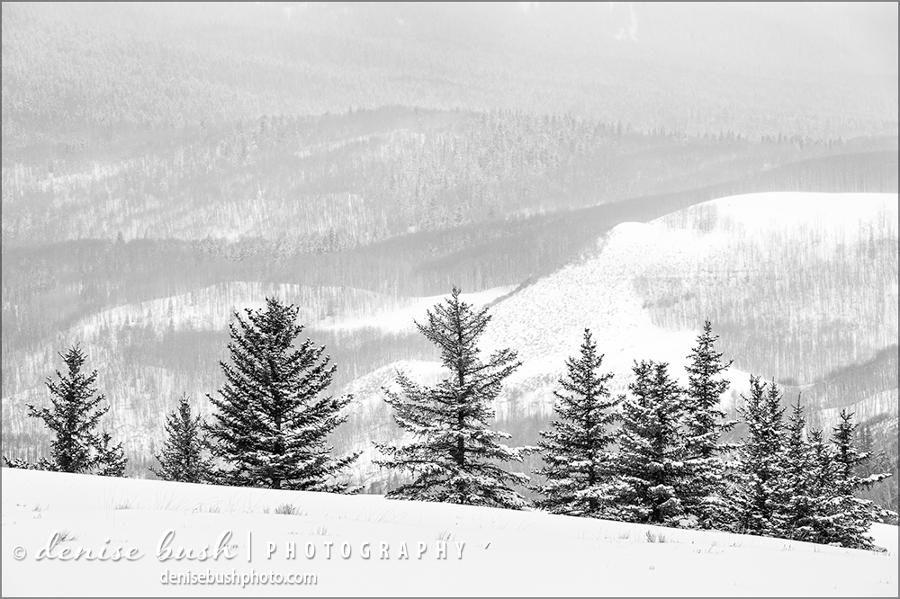 Just over the hill, a line of spruce trees look lovely in the fresh snow.