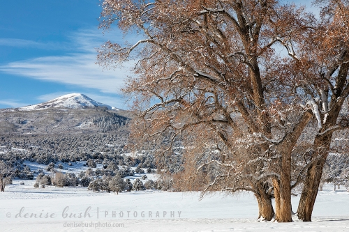 A modest little mountain, just beyond big cottonwood trees creates a pleasant winter scene.