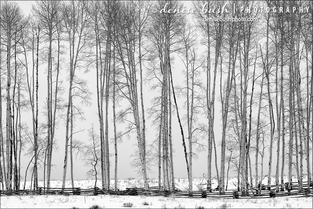 A group of very tall aspen trees creates an interesting visual on a cloudy winter afternoon.