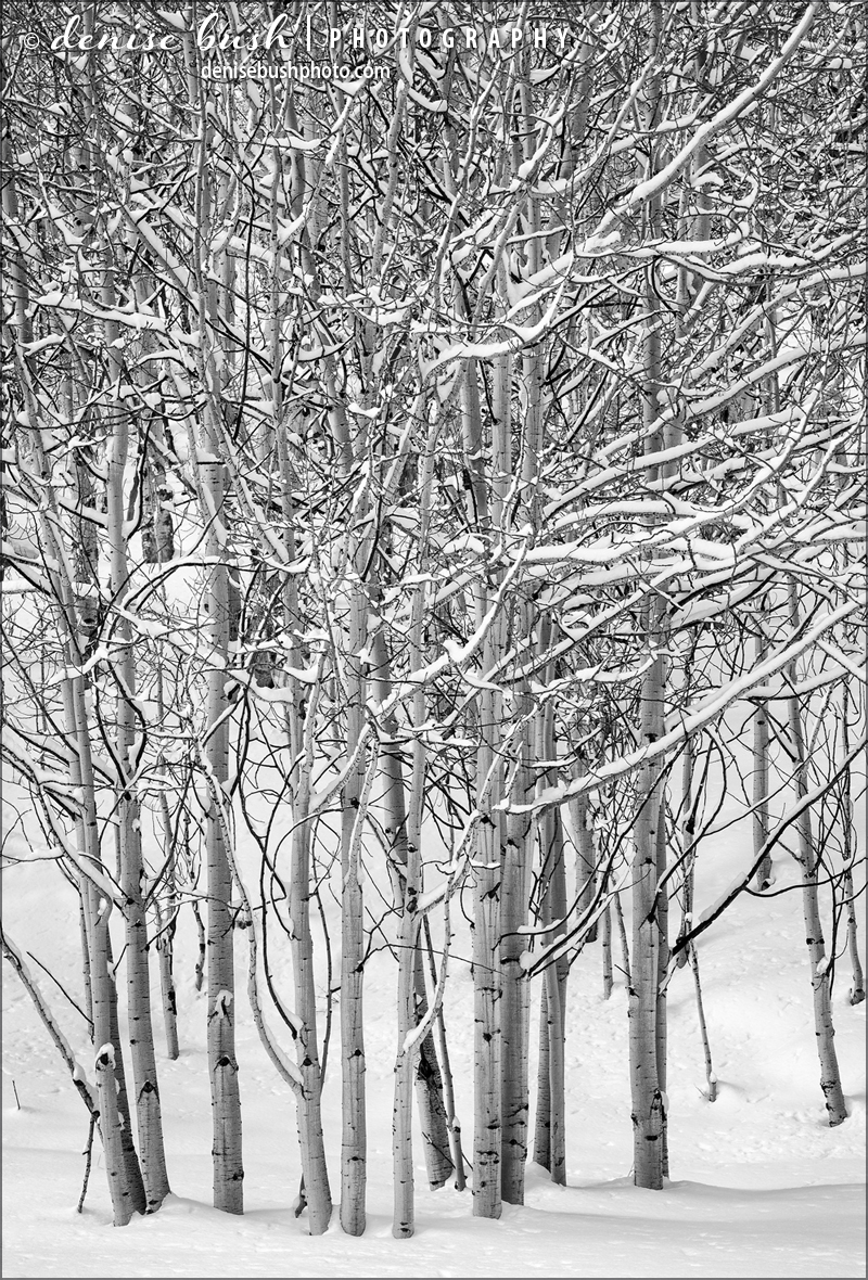 Some young aspens collect snow on their branches to create a wintry pattern in B&W.