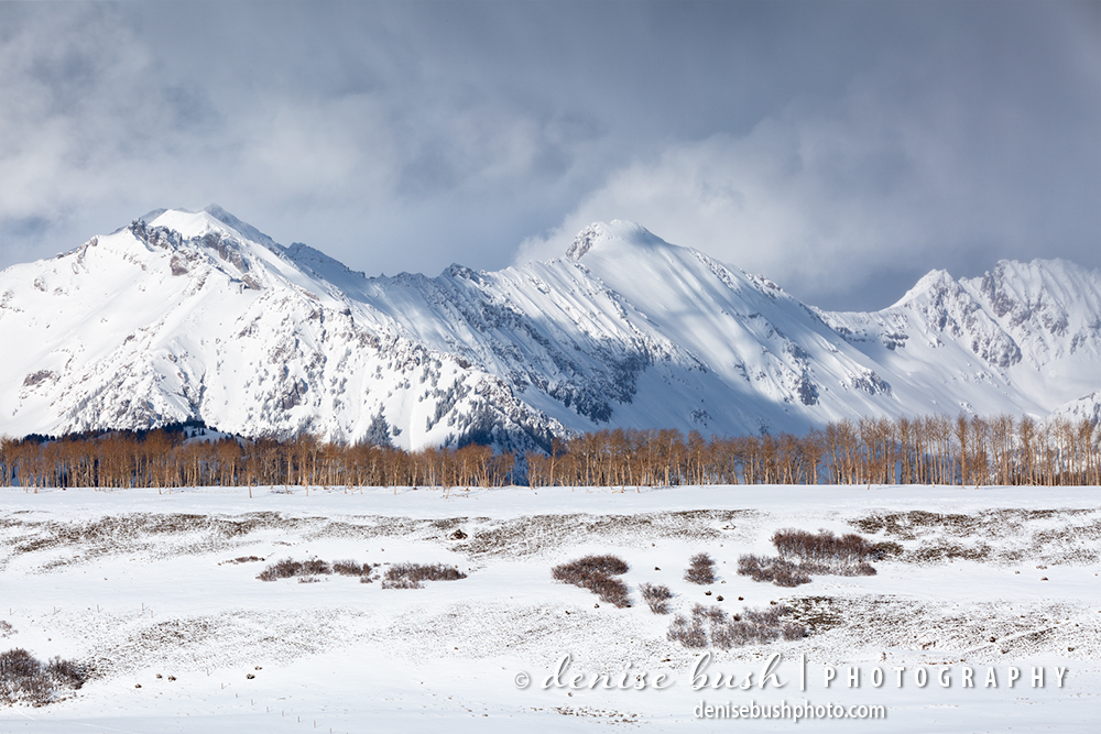 A stand of aspen trees stand out in in a winter scene of white